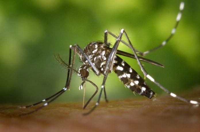 tiger mosquito