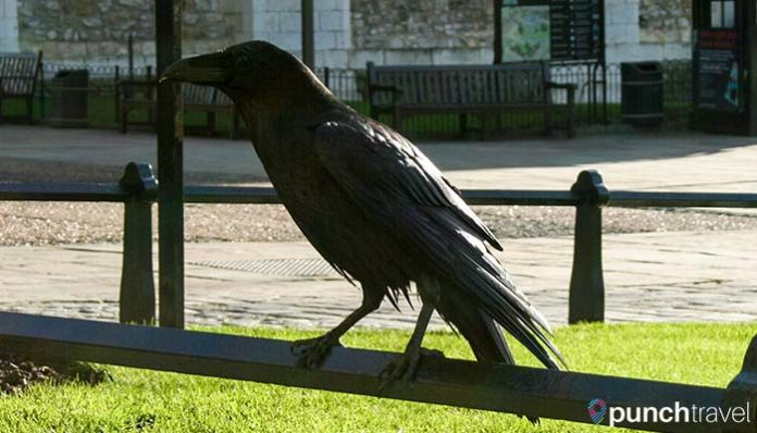 tower-london-ravens