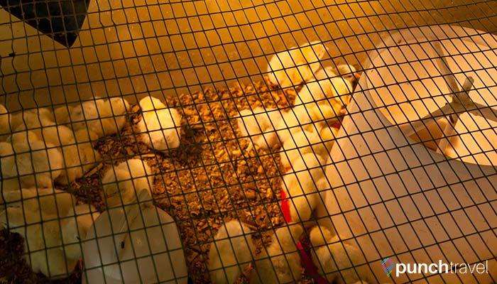malaysia-kl-bird-park-chicks