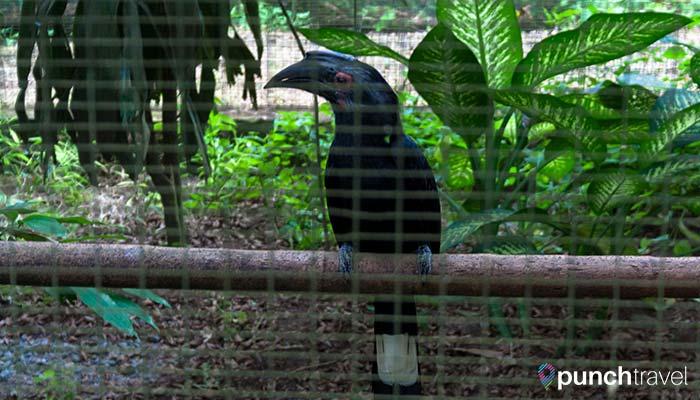 malaysia-kl-bird-park-magpie